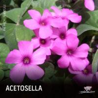 acetosella-02