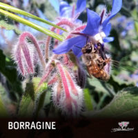 borragine-02